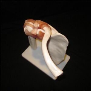 Functional Human Shoulder Joint Life Size Anatomical Anatomy Model New