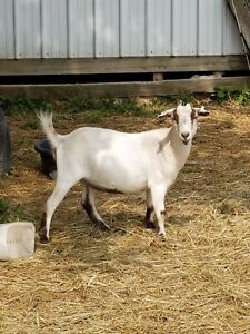 Goats For Sale Nubians Lamancha Crosses Nubian And Pygmy Price Varies