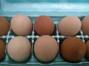 6 12 18 Black Australorp Hatching Chicken Eggs Fast Heritage Breed Great Layers