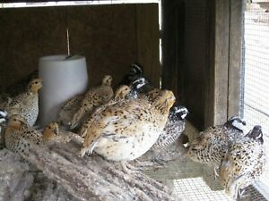 15 Mexican Speckled Quail Hatching Eggs Shipping Now