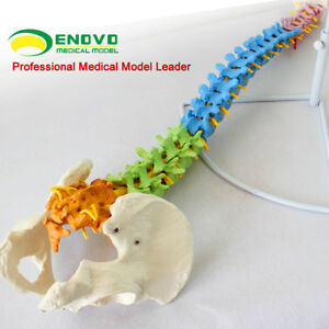 1 1 Realistic Education Spine Models With Pelvis Anatomical Skeleton Life Sz Lab