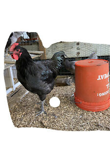 4 1 Count Black blue Jersey Giant Hatching Eggs pure Breed