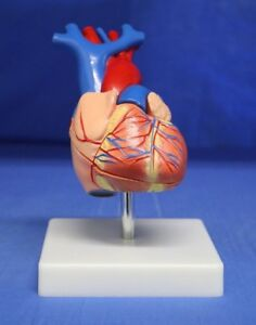 Childcraft Education Human Heart Anatomy Painted Model On Base 286372