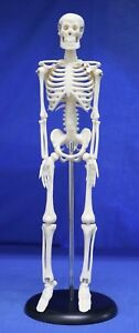 Childcraft Education Human Skeleton Anatomy Mini Model On Base 1006338