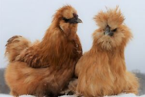 12 fertile show Quality Silkie Chicken Hatching Eggs Assorted Colors