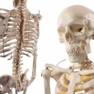 Wellden Product Anatomical Human Skeleton Model 1 2 Life Size 85cm