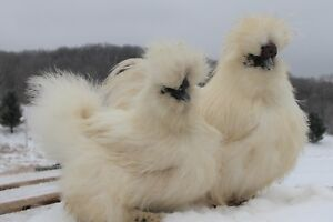 8 Fertile show Quality Silkie Chicken Hatching Eggs Assorted Colors
