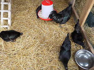 8 Ayam Cemani Hatching Eggs From Feather Farms