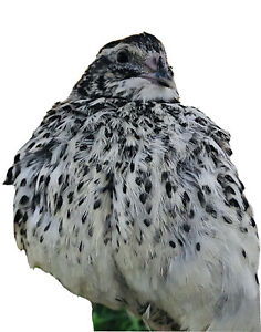 Rare Quail Hatching Eggs Falb Fee 24 Eggs Free Gift Included