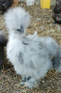8 Silkies Showgirl And Polish Fertile Hatching Eggs
