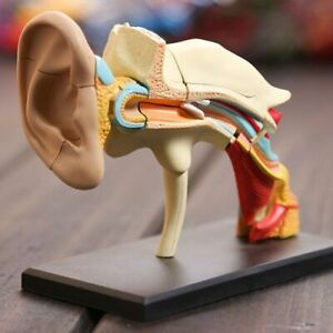 Human Ear Model Anatomical 4d Medical Anatomy Skeleton 3d Puzzle Educational Toy