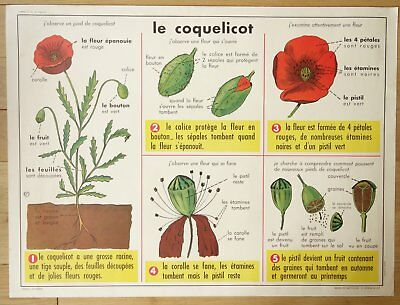 "Vintage French School ""cherries"" And ""poppies / Coquelicot"" Botanical Print"