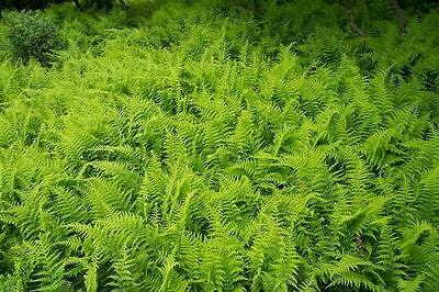 Hay-scented Fern 1000 Bare Root Rhizomes Free Shipping