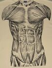 MUSCLES-Leslie Arwin Muscular System Anatomy Science Biology 2-sided T shirt  image