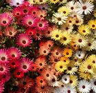 Ice Plant Mix (2000 to 1 LB seeds) Iceplant Ground Cover Bedding Xeriscape  #242