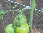 Tomato Arch Support trellis garden vegetable plant binder 50 - 1000 count