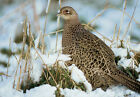 Art print POSTER Ring-necked Pheasant Hen Standing in Snow