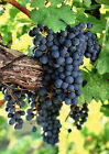 Art print POSTER Cabernet Sauvignon Grapes on Vine for sale  Shipping to United States
