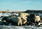 Art print POSTER Polar Bears Feeding at Garbage Dump