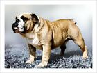 English Bulldog Modern Art Print - s557