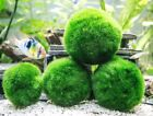 Giant Marimo Moss Balls (2 To 2.5 Inches) By Aquatic Arts