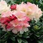 100 pieces rhododendron seeds beautiful plantas naturales azalea rare flower see