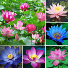 10X Bonsai Lotus Water Lily Flower Bowl Pond Fresh Seeds Perfume Red Blue Lotus