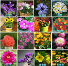 100pcs Flowers Seeds Chrysanthemum Rose Balcony Indoor and Outdoor Plant Potted