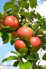 Malus Roter James Grieve CAC