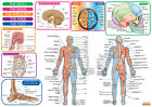 HUMAN ANATOMY AND MUSCLES POSTERS UPTO A0 SIZE,  FRAMES AVAILABLE