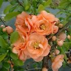 "Chaenomeles ""Cameo"" 3, 6, or 10 Apricot Flowering Quince, Flowering Shrubs!"