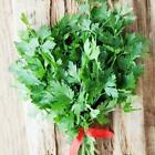 Italian Parsley Seeds Sizes to 5 LB FREE SHIP Heirloom Microgreens or Garden #57