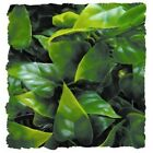 Zoo Med Natural Bush Plant Mexican Phyllo  Free Shipping