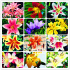 100 Seeds A Lot Lily flower seed plants seeds bonsai flower easy to grow