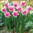 Seeds Flower Daffodil Bonsai Flower Seeds Garden Plant 100pcs