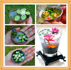 Real Miniature Lotus Seeds ,water lily seeds,visual enjoyment 10 seeds/PACK