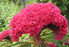 Red Celosia Crested Cockscomb seeds  Celosia Cristata Annual  Flower CombSH H43