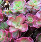 100pcs/bag Mix Sempervivum Exotic Echeveria Seeds Rare Succulent Seeds