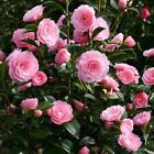 camellia shrub seeds.  ~ choose from pink or lavender ~