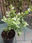 Ceonothus Yankee Point  2 Litre Pot