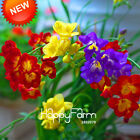 Freesias Seeds Gorgeous Garden Colorful Fragrant Flower Plant Orchid 100pcs