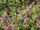 Creeping Thyme Herb Seeds by Zellajake Many Sizes FREE SHIP Purple Flower #24