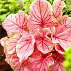 Caladium Seeds Perennial Flower Potted Bonsai Plant Seed 50 Pcs / Pack