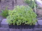 Chia Herb Seeds by Zellajake Many Sizes  Heirloom Sprouts Microgreen Garden190C