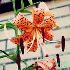 Home Garden Balcony Perfume Lily with Buds Green Plants Potted Flower TOP