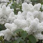White Japanese Lilac Tree Seeds Clove Flower Seeds Bonsai Flower Seeds TOP