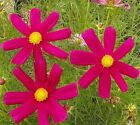 Cosmos Dazzler Seeds by Zellajake Many Sizes Crimson Pink Red Yellow Flower S255