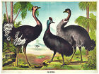 549.Ostriches Wild Life Wall Art Decor POSTER.Graphics to decorate home office.
