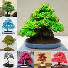 50 Pcs -8 kinds Rare Japanese Maple Seeds,Bonsai Tree Seeds,suit for DIY Home Ga