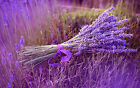 Lavender Essential Oil 100% Pure & Natural Undiluted up to 16oz 5-10% off
